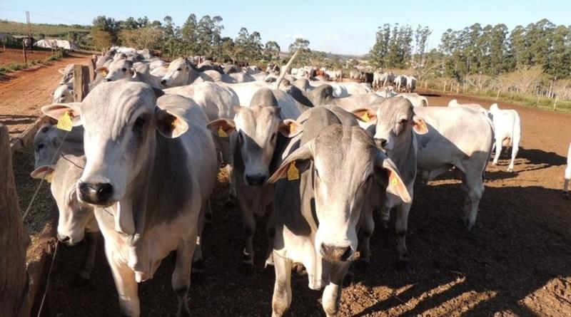 Preço da arroba do boi em Rondônia Hoje