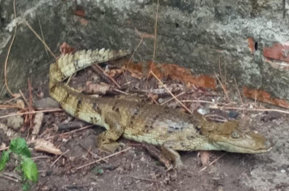 Família encontra jacaré no quintal de casa em Monte Negro
