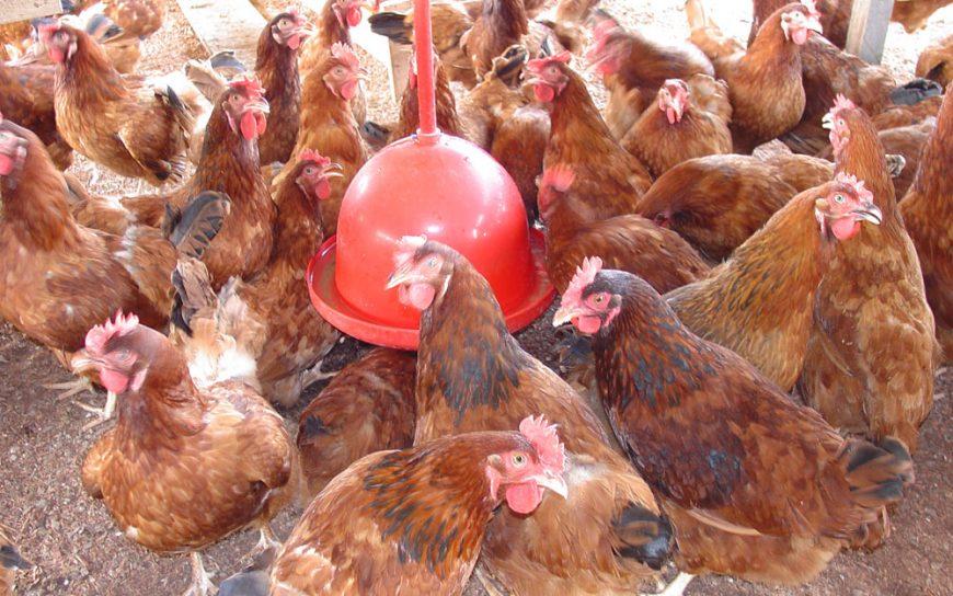 Setor de avicultura registra crescimento na produção de Rondônia
